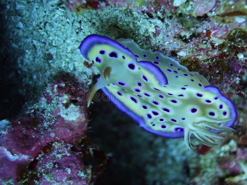 Eine reizende purpurrote Stelle Ovula (Ovum) lizenzfreie stockfotos