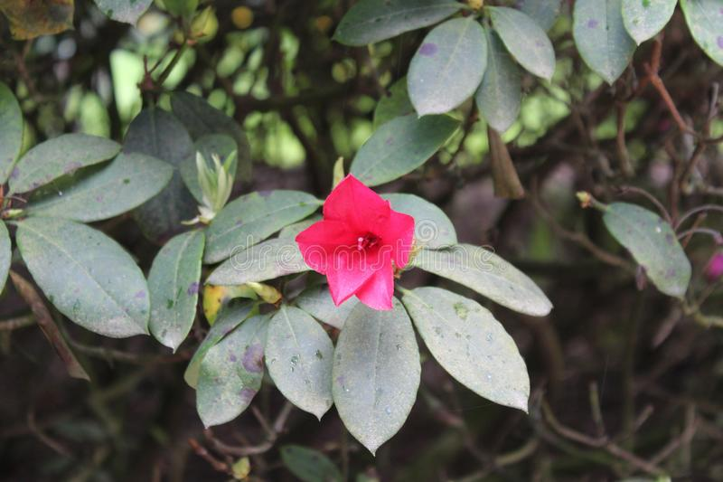 Eine reizende rote Blume mit den grünen Blättern stockfotos