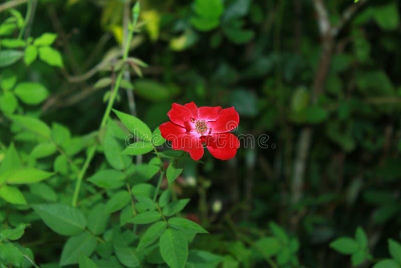 Eine reizende Rotrose Liebesfarbe lizenzfreie stockbilder
