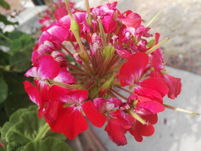 Eine rosa Blume lizenzfreies stockbild