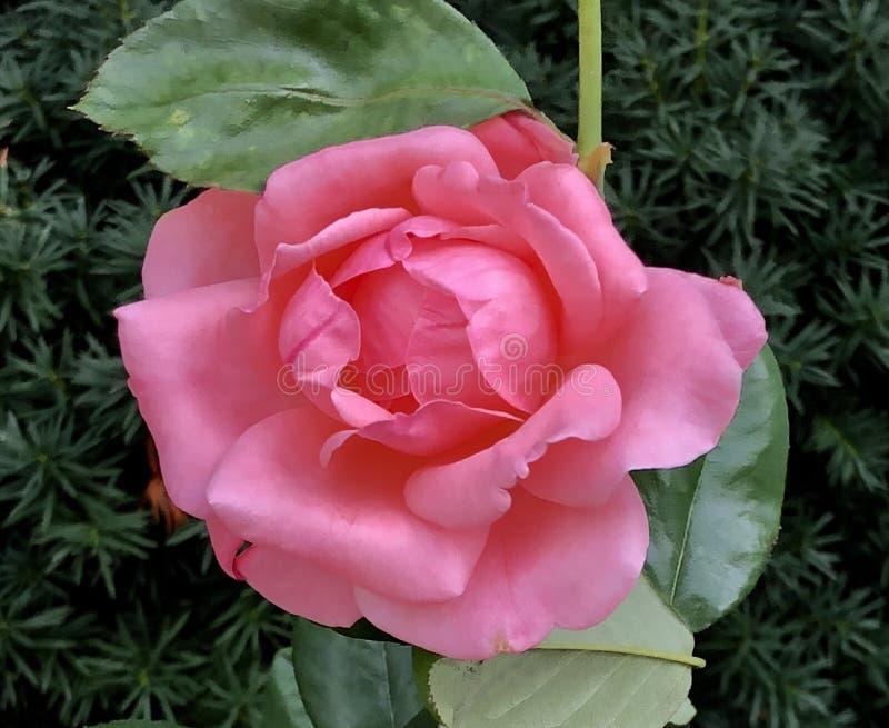 Eine rosa knockout Rose stockbild