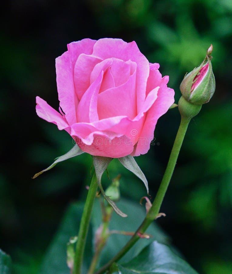Eine rosa knockout Rose stockfotos