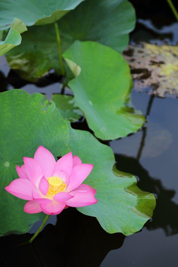 Eine rosa Lotosblume, die unter Stoff blüht, verlässt in einem Teich mit Reflexionen auf dem glatten Wasser lizenzfreie stockfotos