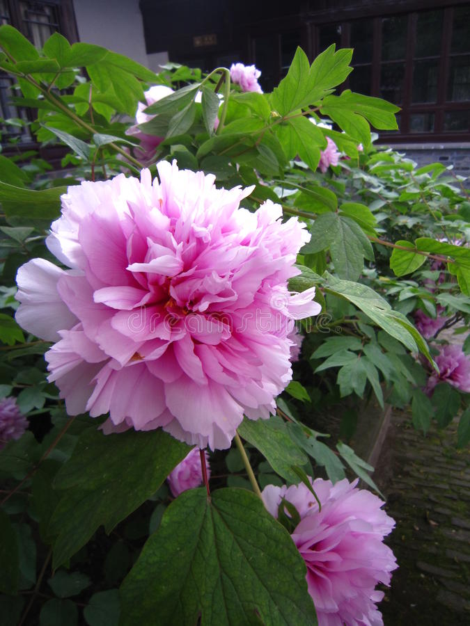 Eine rosa Pfingstrose in voller Blüte stockfoto