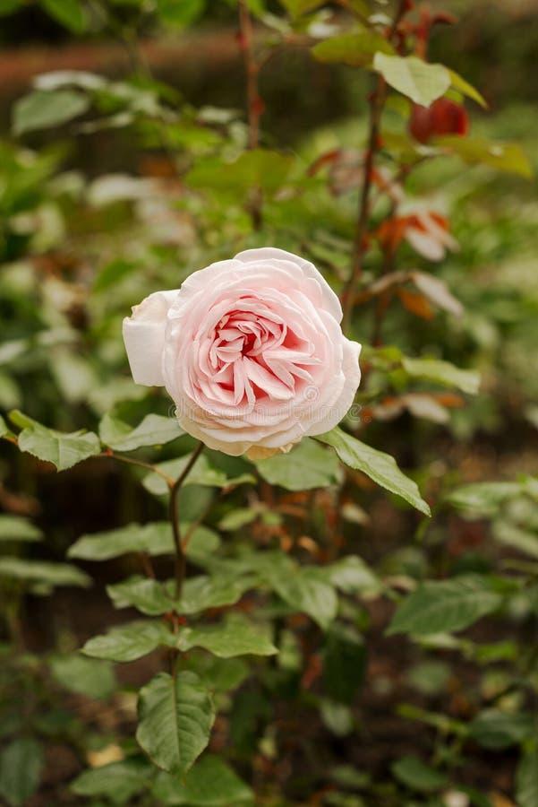 Eine rosa rosafarbene Blüte lizenzfreies stockfoto