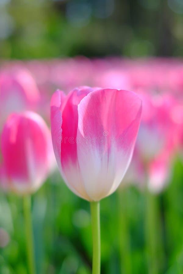 Eine rosa Tulpe lizenzfreies stockfoto