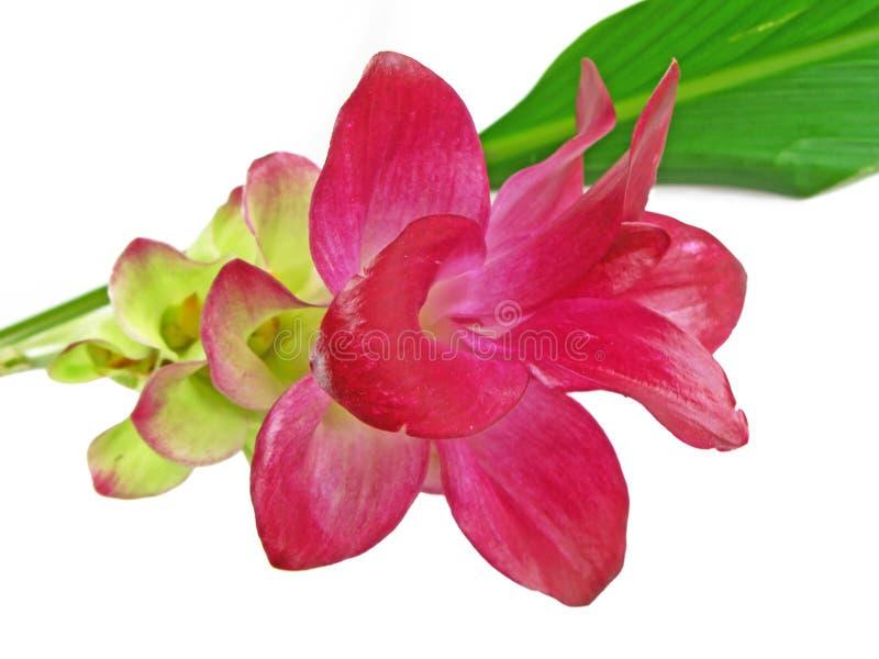 Eine rosafarbene ?Gelbwurz? Blume lizenzfreie stockbilder