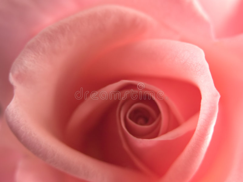Eine Rose stockfotos