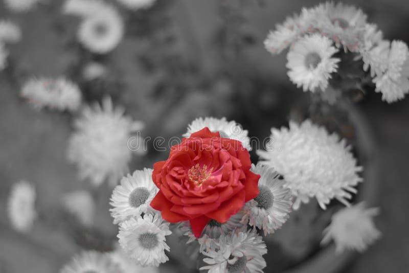 Eine Rose, die heraus vom Lillies steht lizenzfreies stockbild
