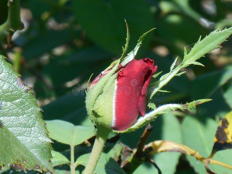 Eine Rose durch irgendeinen anderen Namen stockbild