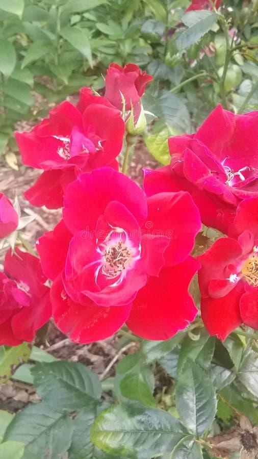 Eine Rose durch irgendeinen anderen Namen lizenzfreies stockbild