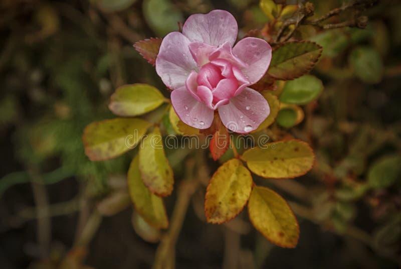Eine Rose im Herbst stockbild