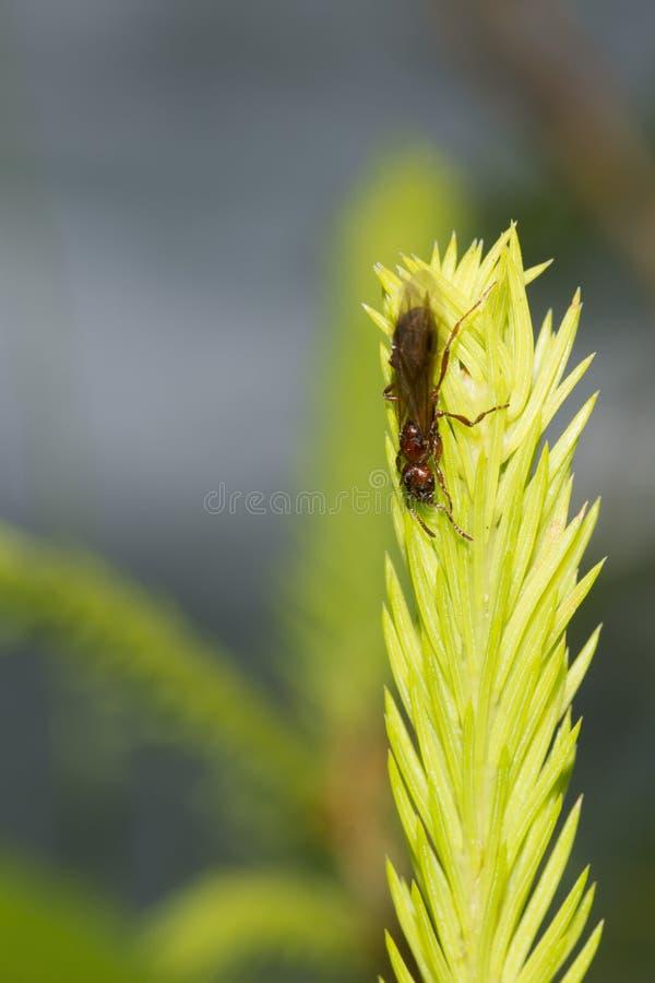 Eine rote Ameise, die am Moosmakro hängt lizenzfreies stockfoto