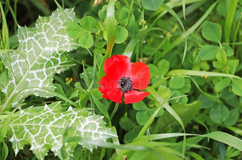 Eine rote Anemone blüht unter den Unkräutern stockfotografie