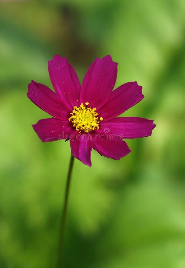 Eine rote Coreopsisblume lizenzfreie stockfotos
