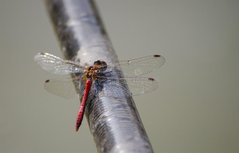 Eine rote Libelle sitzt ruhig auf der Querlatte lizenzfreies stockbild