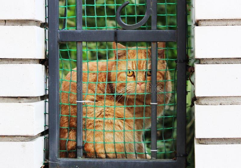 eine rote reinrassige Katze wendete sich und Blicke vorsichtig durch einen Zaun und ein Gitter in einer Backsteinmauer an die Str stockfoto