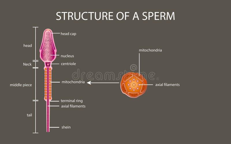 Eine Samenzellen sind menschlicher Same In der weißen Rückseite lizenzfreie abbildung