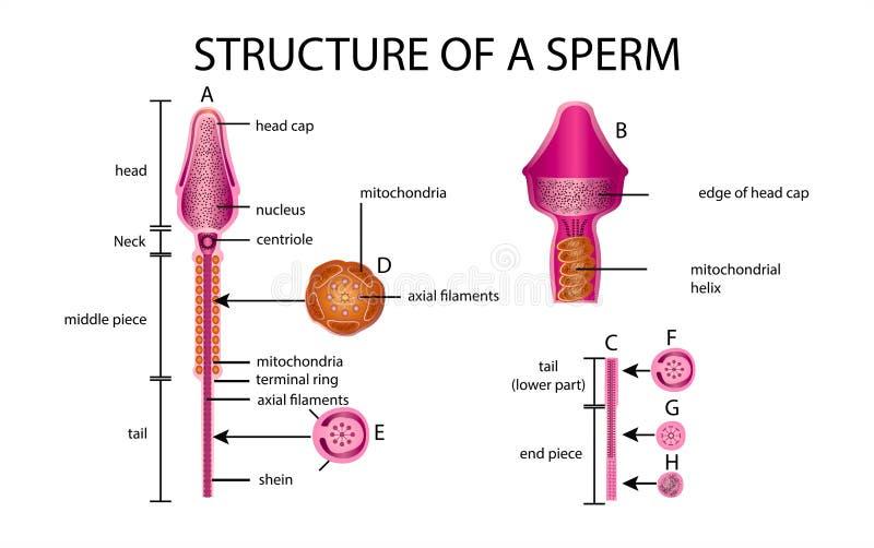 Eine Samenzellen sind menschlicher Same In der weißen Rückseite stock abbildung