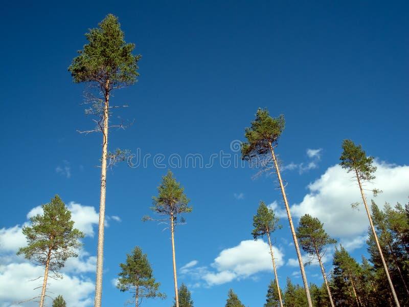 Eine Sammlung hohe Tannenwipfel mit den langen, bloßen Baumstämmen im Sonnenschein, der kühle natürliche grafische Spitzen macht stockfoto