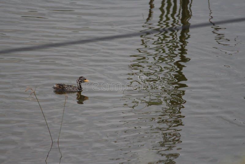 Eine schöne Babyente, die über den See eines Parks schwebt Schwarz-Weiß-Federvogel ist sehr empfindlich für den Fang, da er ertri stockbilder