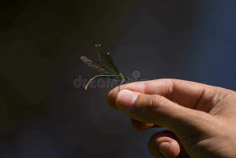 Eine schöne blaue Libelle, die auf einer Hand nahe dem Fluss sitzt lizenzfreie stockfotografie