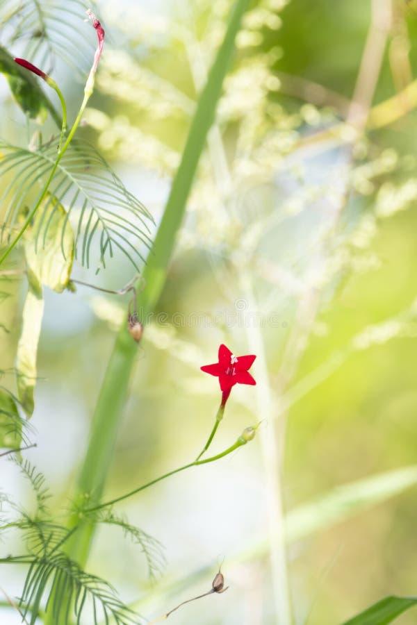 Eine schöne einzelne rote Blume auf einer Zypresse-Rebe Lpomoea Guamoclit in verwirrter Vegetation herein in Mexiko lizenzfreies stockbild