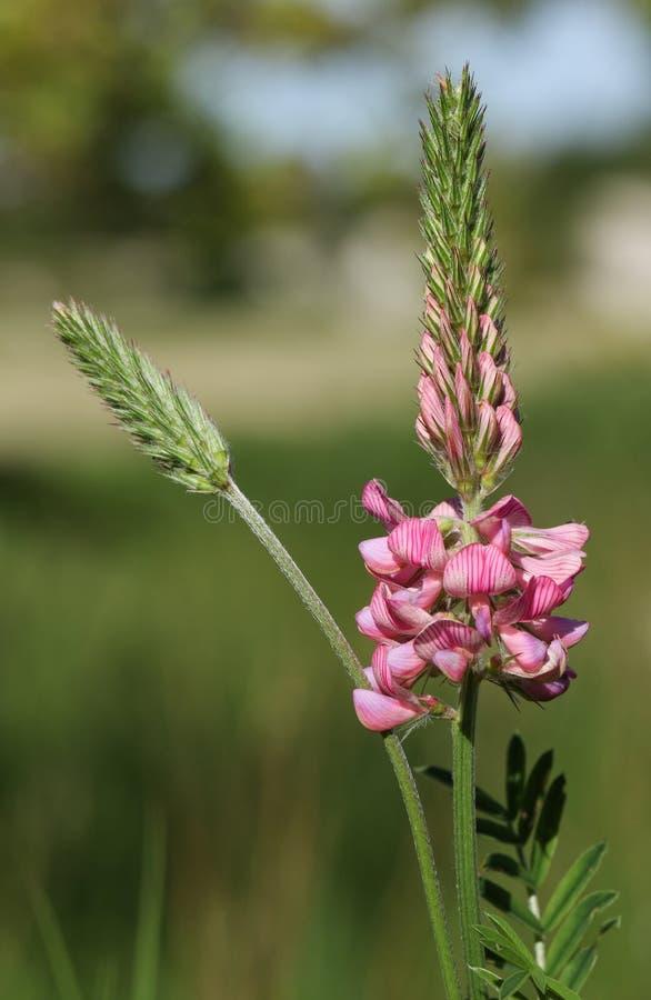 Eine schöne Esparsette, Onobrychis, Wildflower, der in einer Wiese in Großbritannien wächst stockbild