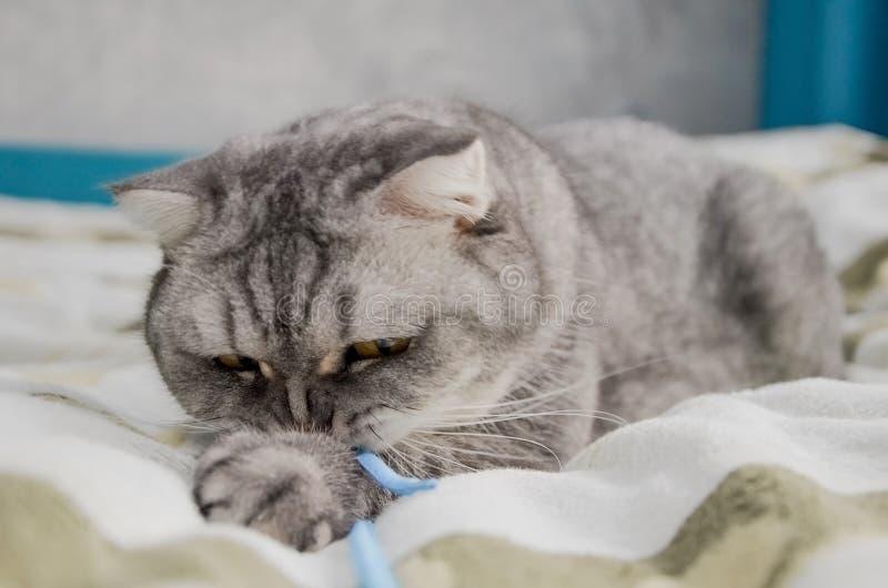 Eine schöne, flauschige Tabbierkatze liegt auf einem Bett in einem hellen Raum neben dem Fenster des Hauses Closeup-Portrait eine lizenzfreie stockfotos