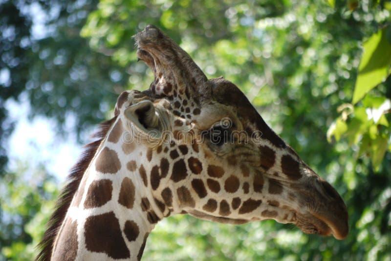 Eine schöne Giraffe schaut vorsichtig beiseite, ob alles herum ist lizenzfreie stockbilder