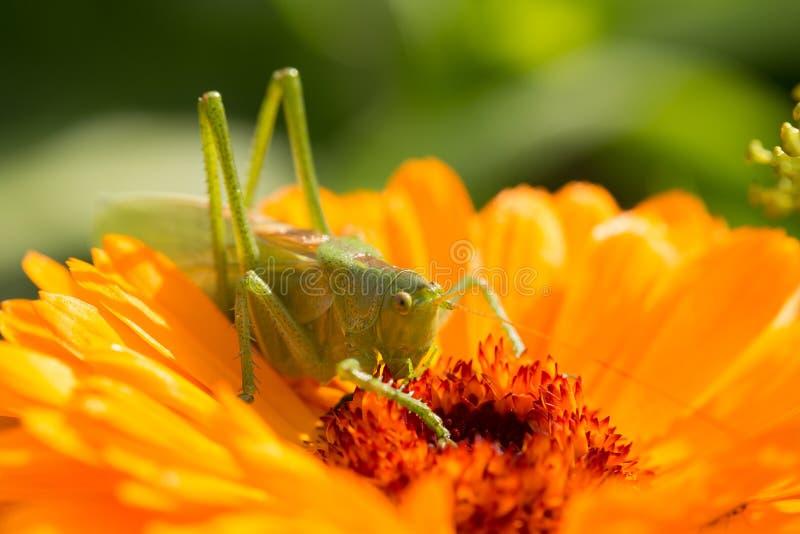 Eine schöne grüne Heuschrecke, die auf einem Calendula sitzt Insekt, das auf einer Blume stillsteht Englische Ringelblumennahaufn stockbilder
