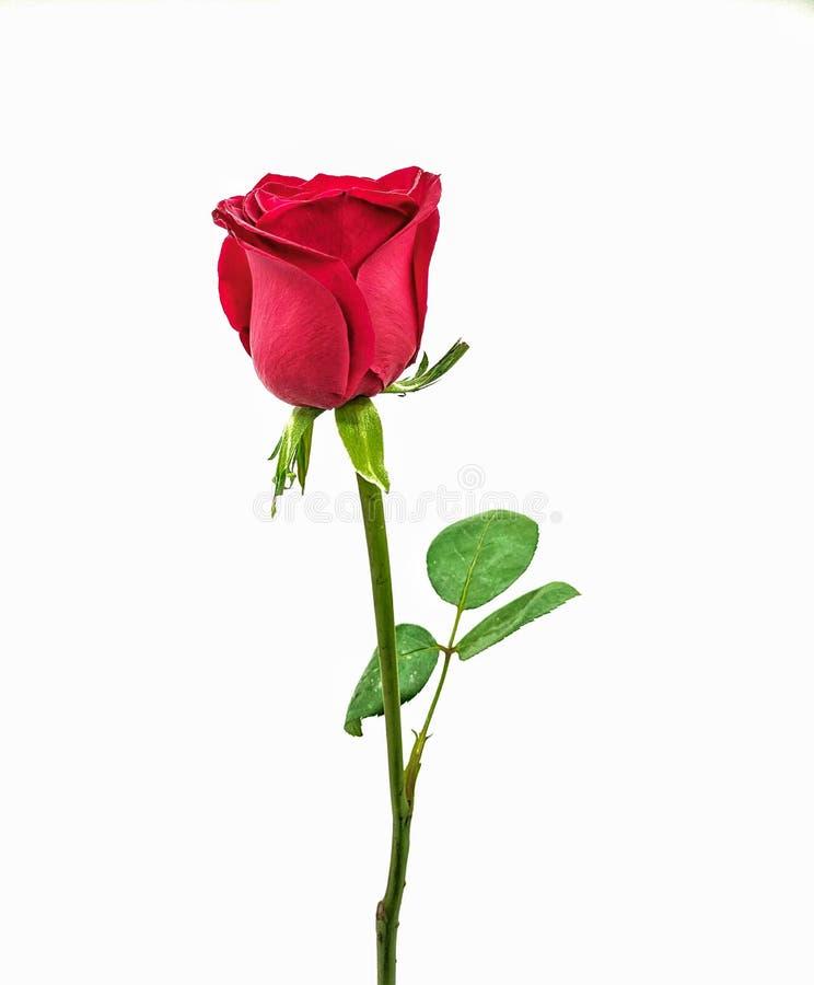 Eine schöne helle Rotrose auf einem weißen Hintergrund lizenzfreie stockfotografie