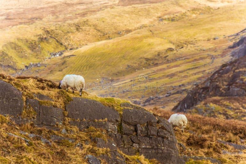 Eine schöne irische Berglandschaft im Frühjahr mit Schafen lizenzfreies stockbild