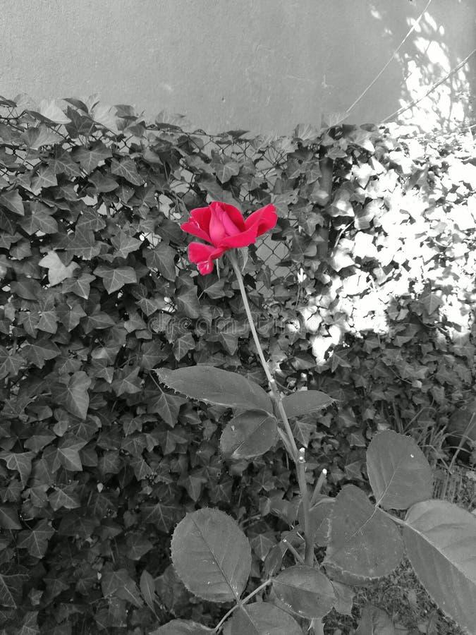 Eine schöne Rotrose, die vorherrscht stockbild