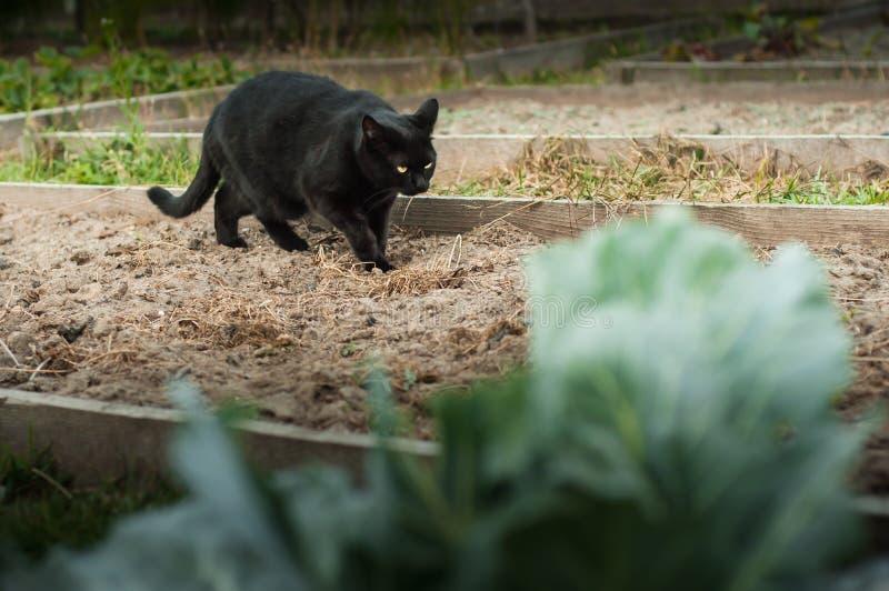 Eine schöne schwarze Katze mit hellgelben Augen schleicht um den Garten herum stockbild