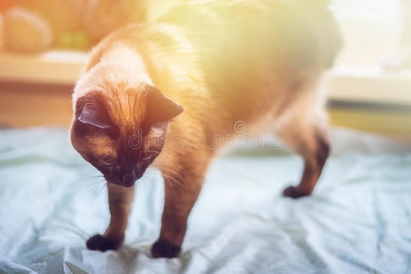 Eine schöne siamesische Katze schaut unten Eine Katze ist - ein fehlendes Bein, drei Tatzen behindert lizenzfreie stockfotos