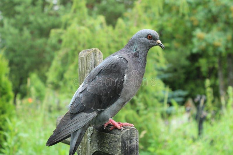 Eine schöne Taube sitzt auf einem alten Kreuz lizenzfreies stockfoto
