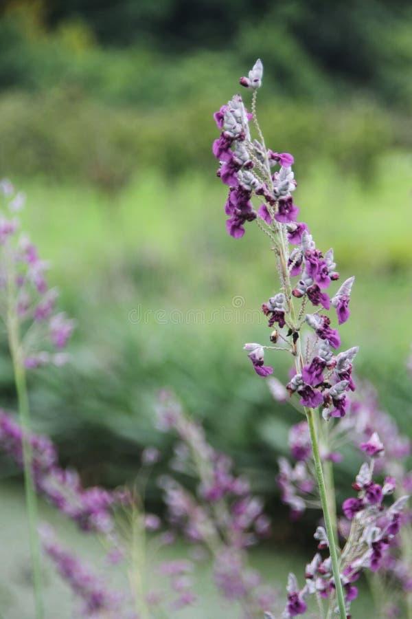 Eine schöne und purpul Blume lizenzfreie stockfotografie