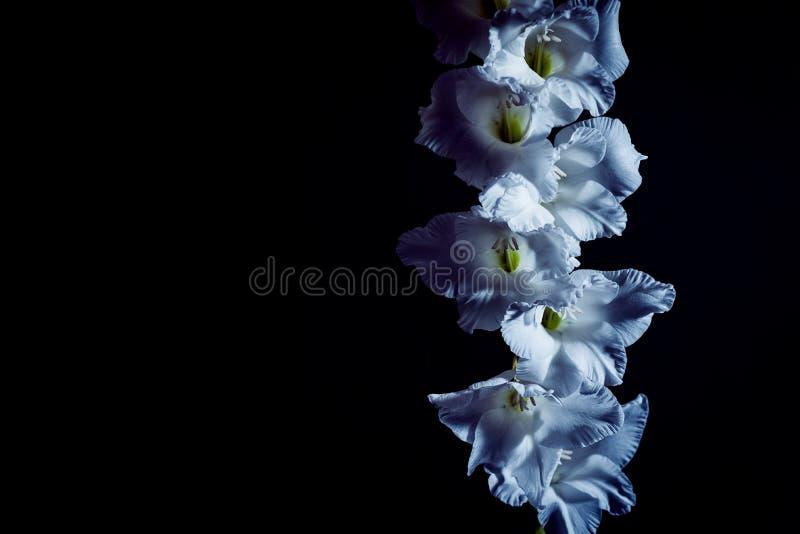 Eine schöne weiße Blume in der Dunkelheit Schwarzer Hintergrund und freier Raum stockbild