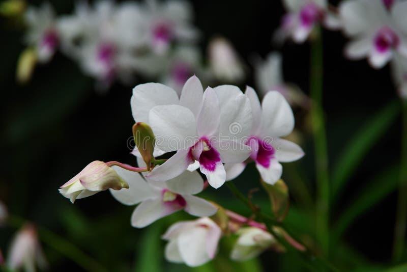 Eine schöne weiße Blume im Regen lizenzfreie stockfotos