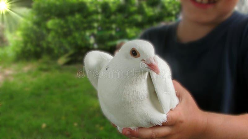 Eine schöne weiße Taube, die in den Händen des Kindes sitzt lizenzfreies stockfoto