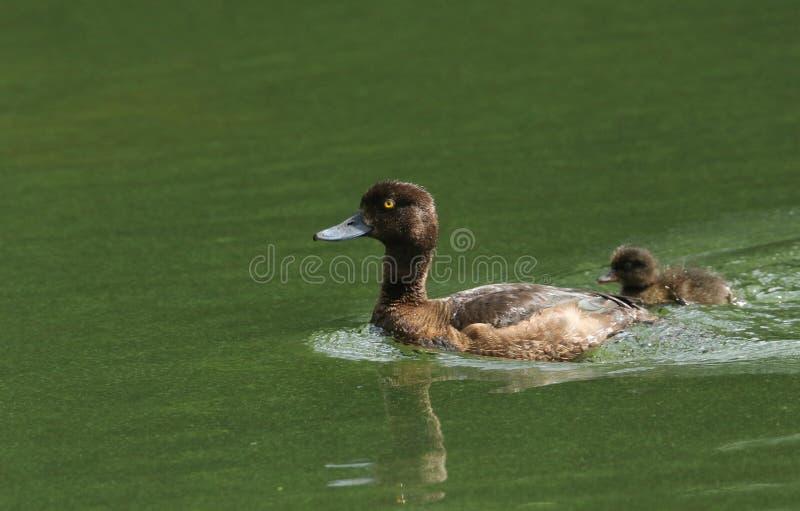 Eine schöne weibliche büschelige Duck Aythya-fuligula Schwimmen in einem Fluss mit ihrem netten Baby lizenzfreie stockbilder