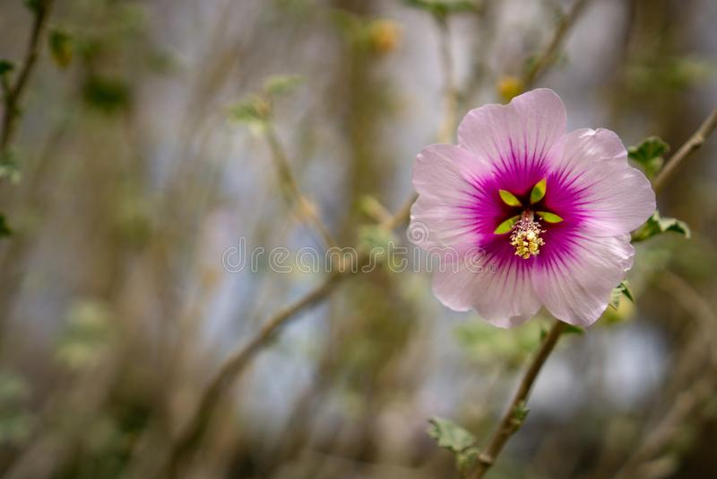Eine sch?ne rosa Hibiscus-Blume stockfotos