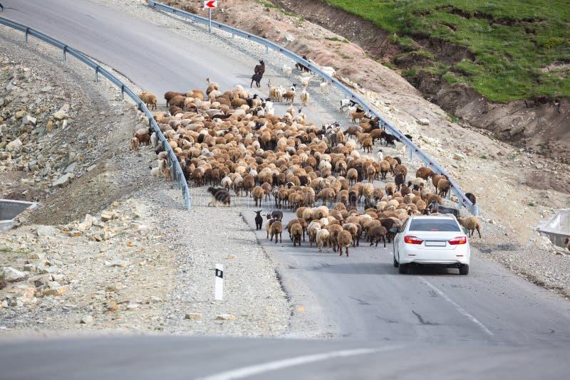 Eine Schafherde, die Gras in den grünen Hügeln des hohen Kaukasus nahe Shemakha, Aserbaidschan isst Auto fest stockfotografie