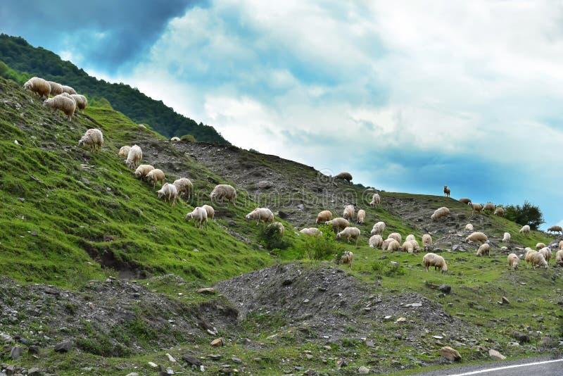 Eine Schafherde nahe der Straße in den Bergen stockbild