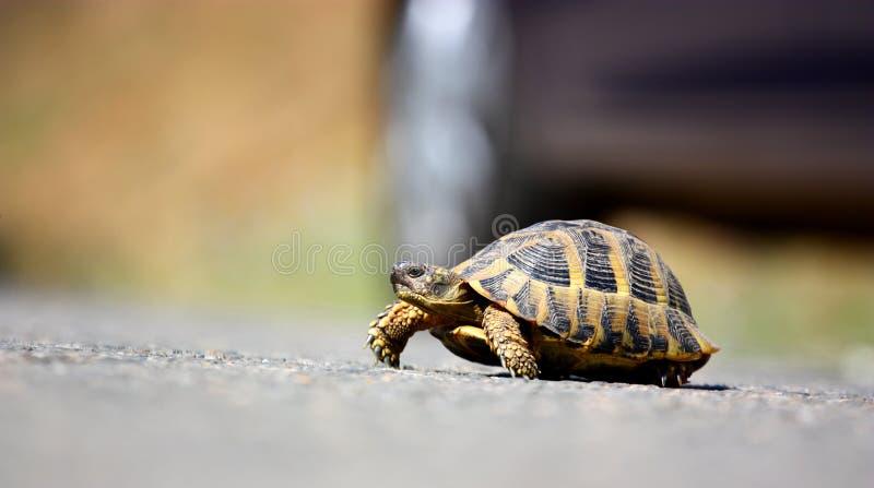 Eine Schildkröte lizenzfreies stockbild