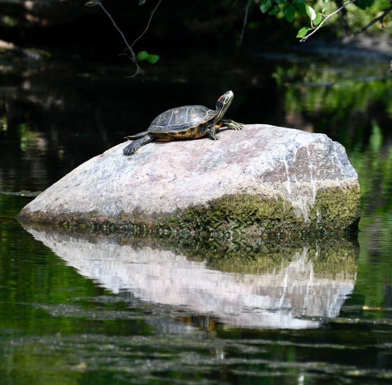 Eine Schildkröte auf einem Felsen stockfoto