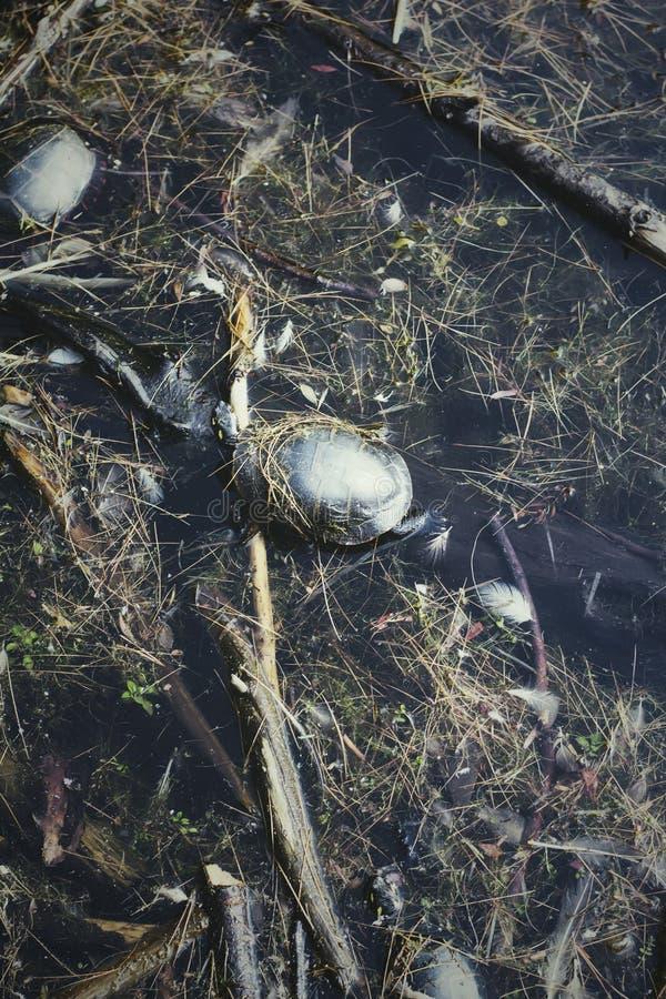 Eine Schildkröte, die auf einer Anmeldung ein See sich aalt lizenzfreie stockfotos