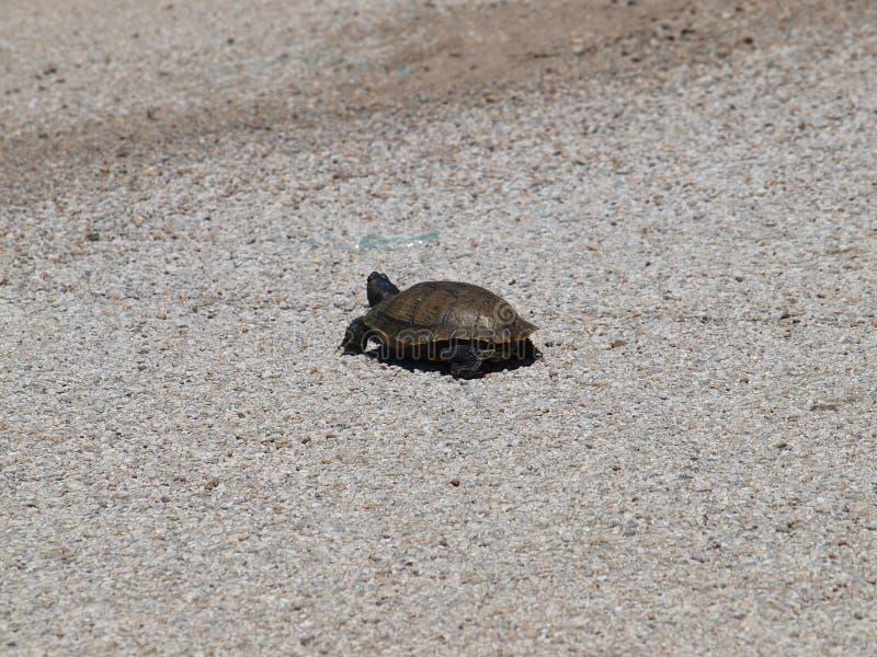 Eine Schildkröte, die eine Fahrbahn kreuzt stockbild