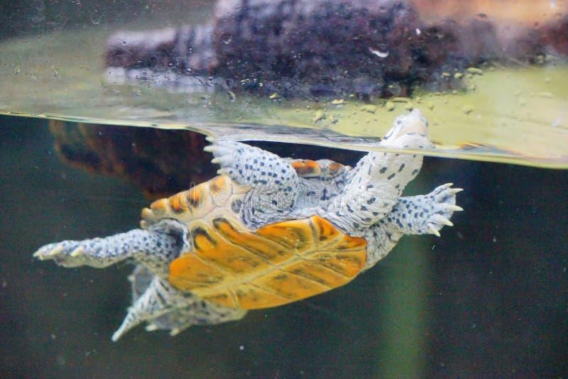 Eine Schildkröte schwimmt lizenzfreie stockbilder